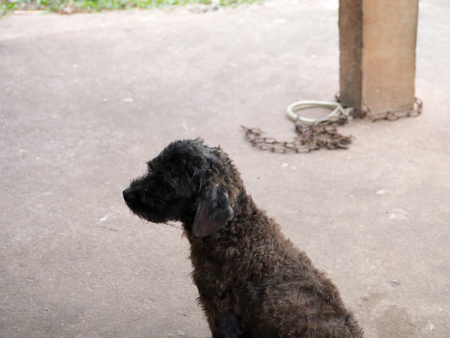 manacle: Help take off chained dog to freedom,the dog sit resting Stock Photo