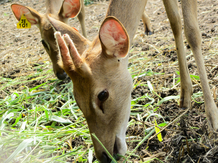 cervus: Cervus eldii thaminElds deer in Huay Sai Wild Animal Caring and Breeding Center Phetburi Thailand