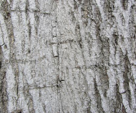 bark texture: tree bark texture background Stock Photo
