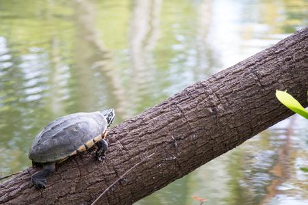 Malayemys turtle sunbathing on the tree Stock Photo