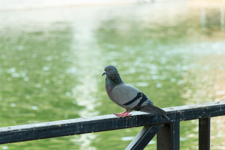 pigeon perched on fence with water background