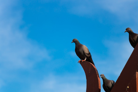 pigeon perched roof edge with blue sky background