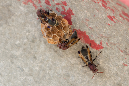 paper wasp: Hymenoptera building nest Stock Photo
