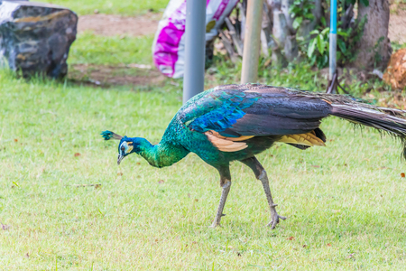 Peacock, Peafowl,Pavo muticus Stock Photo