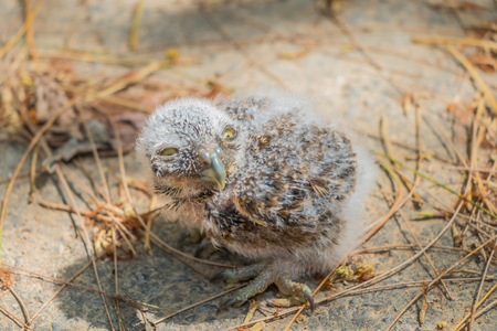 strigiformes: Baby Little Owl on ground