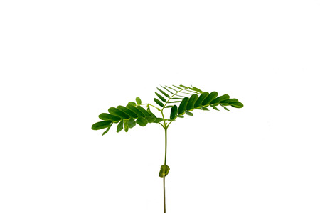 young plant new born Tamarind tree on white backgound