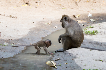 Long-tailed macaque look at baby monkey playing water
