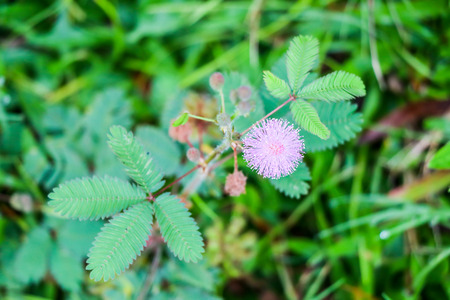 Mimosa pudica flower In the yard