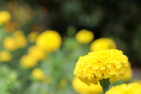 Marigold flowers for the King of Thailand