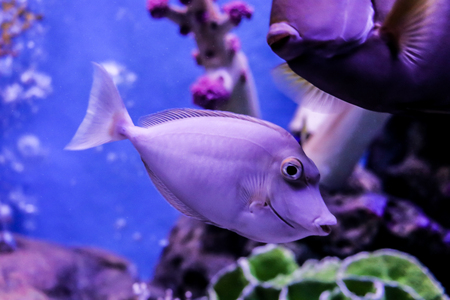 Naso Lituratus Acanthuridae tropical fish Orangespine unicornfish Stock Photo