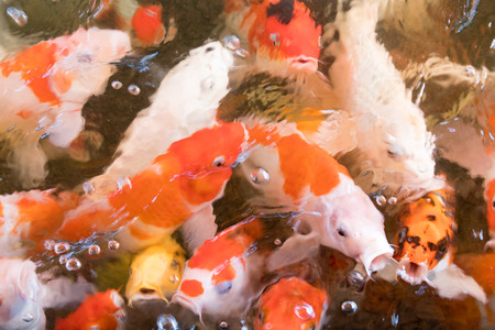 Colorful fancy carp fish Abstract blur for background Stock Photo