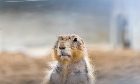 prairie dog looking at something