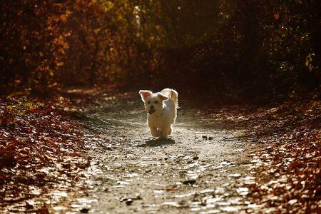 Maltese dog running in autumn forest Stockfoto
