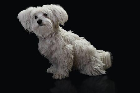 Maltese dog in front of black background