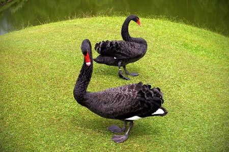 Black swans, Sarawak, Borneo Highlands, Malaysia Stock Photo - 14081480