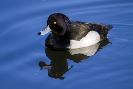 Tufted Duck  Aythya fuligula  Solna, Sweden  Stock Photo - 14686857