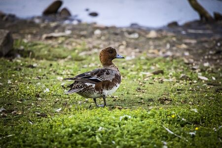 Eurasian Wigeon  Anas penelope  Solna, Sweden  Stock Photo