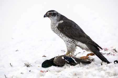 Northern Goshawk  Accipiter gentilis Solna, Sweden  Stock Photo