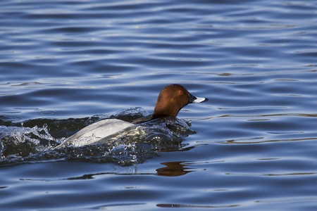 Common Pochard  Aythya ferina  Solna, Sweden Stock Photo - 14686932