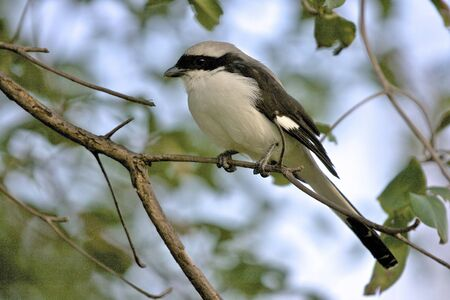 Lesser Grey Shrike  Lanius minor ,  Arba Minch, Ethiopia