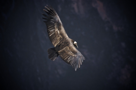 Andean Condor  Vultur gryphus , Colca canyon, Peru  Stock Photo