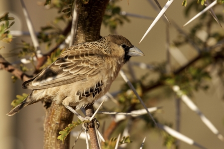 Sociable Weaver  Philetairus socius  Sossusvlei, Namibia  Stock Photo