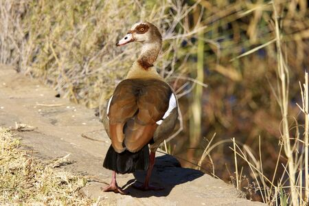 Egyptian Goose  Alopochen aegyptiacus , Daan Viljoen Game Park, Namibia  Stock Photo