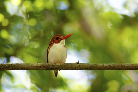 Madagascar Pygmy Kingfisher  Ceyx madagascariensis   It is endemic to Madagascar and found in western dry deciduous forests  Tsingy de Bemaraha N P