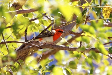 Red Fody  Foudia madagascariensis , Endemic to Madagascar  Madagsacar Stock Photo