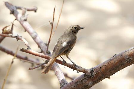 igrave:  Daurian Redstart  Phoenicurus auroreus , Badain Jaran Desert, Inner Mongolia, China