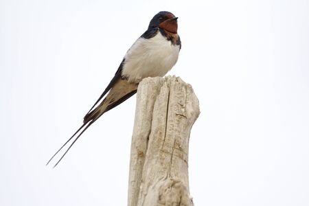 Barn Swallow  Hirundo rustica , Badain Jaran Desert, Inner Mongolia, China Stock Photo