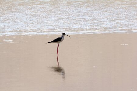 Black-winged Stilt or Common Stilt; Pied Stilt  Himantopus himantopus   Badain Jaran Desert, Inner Mongolia, China