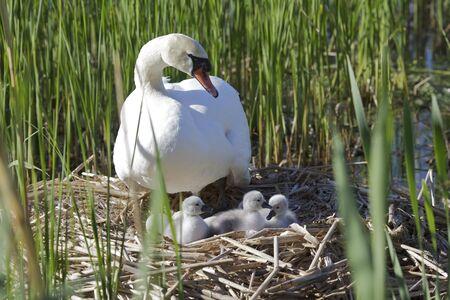 igrave: Mute Swan  Cygnus olor  Solna, Sweden