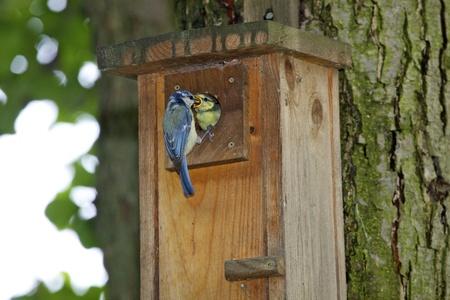 igrave: Blue Tit  Parus caeruleus  Solna, Sweden