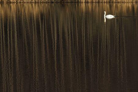 solna: Mute Swan  Cygnus olor    Cygnus olor  Solna, Sweden  Stock Photo