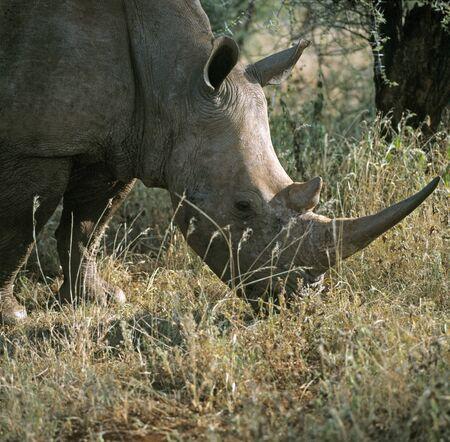 amboseli: Rhinoceros  Amboseli N P  Kenya