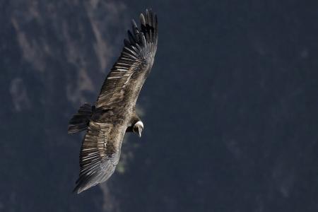 Andean Condor  Vultur gryphus , Colca canyon, Peru  Stock Photo