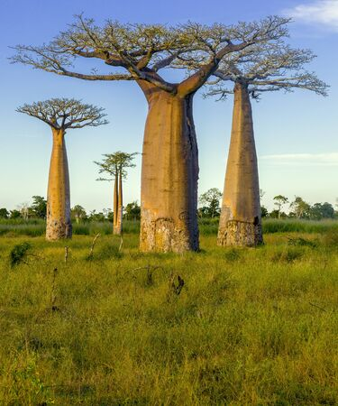 madagascar: Baobabs, Morondava  Madagascar