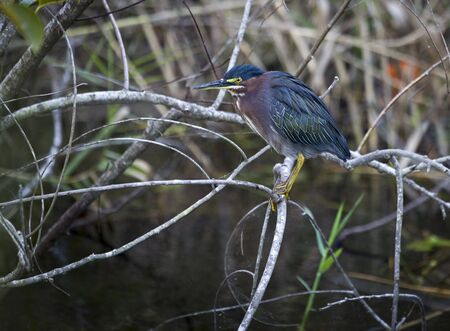 Green Heron  Butorides virescens , Everglades National Park, USA  Stock Photo - 16325911