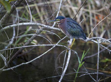 Green Heron  Butorides virescens , Everglades National Park, USA Stock Photo - 16325911
