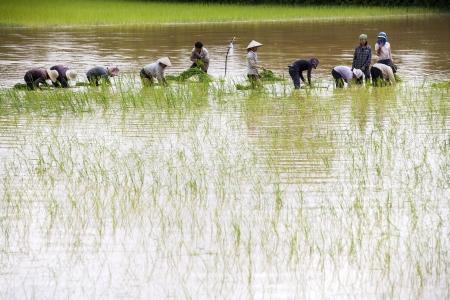 Rice Field, Pre Rup, Cambodia