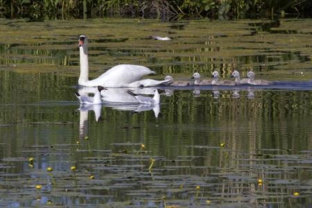 Mute Swan  Cygnus olor   Solna, Sweden, Stock Photo - 16867920