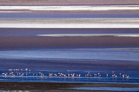 James s Flamingo  Phoenicoparrus jamesi Stock Photo - 17828074