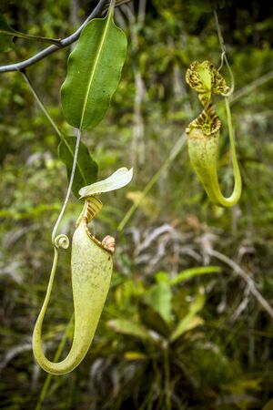 Pitcher Plant, Bako N P Borneo, Malaysia  Stock Photo - 17859377