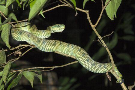 Deadly Pit Viper, Bako N.P. Sarawak, Malaysia. Stock Photo - 17796954