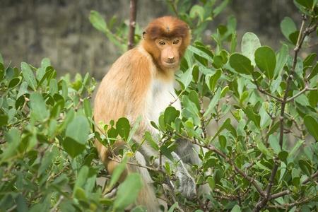 Proboscis Monkey (Nasalis larvatus), Bako N.P. Malaysia Stock Photo - 17797003