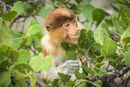 Proboscis Monkey (Nasalis larvatus), Bako N.P. Malaysia Stock Photo - 17797011
