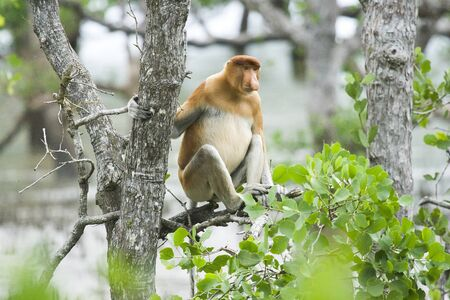 Proboscis Monkey (Nasalis larvatus), Bako N.P. Malaysia Stock Photo - 17797061