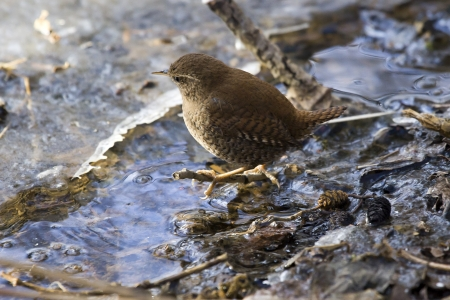 Wren, Solna, Sweden Stock Photo - 18686793