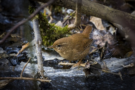 Wren, Solna, Sweden Stock Photo - 18686800